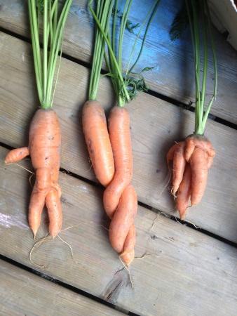 GLA carrot love